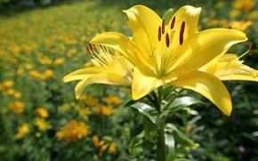 Обои цветок, солнце, цветы, лилии, жёлтые, боке, крупным планом