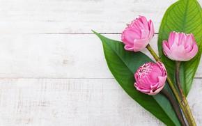 Картинка листья, цветы, розовый, лотос, бутоны, wood, pink, flowers, lotus, petals