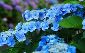 Картинка листья, цветы, куст, сад, голубые, синие, гортензия