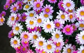 Картинка цветы, ромашки, много, разные, пиретрум
