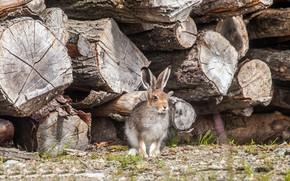 Картинка заяц, дрова, брёвна
