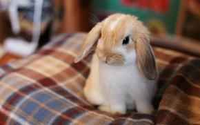 Картинка взгляд, поза, комната, портрет, кролик, вислоухий, малыш, постель, мордашка, сидит, зайчик, ушки, размытый фон, крольчонок, …