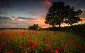 Картинка поле, небо, цветы, дерево, листва, маки, вечер, красные, маковое поле
