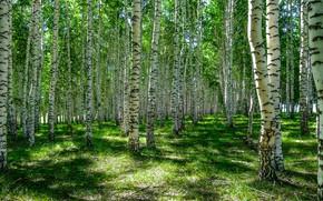 Картинка зелень, лес, лето, трава, свет, деревья, стволы, поляна, тени, березы, берёзы, роща, берёзки, березовая роща