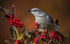 Картинка взгляд, ягоды, птица