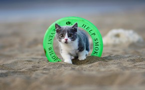 Картинка песок, кошка, пляж, котенок, серый, игрушка, круг, малыш, кольцо, мордочка, милый, котёнок, дымчатый, спасательный, с …