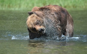 Картинка брызги, медведь, купание, водоем