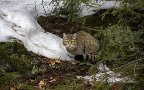 Картинка зима, кошка, кот, взгляд, морда, листья, снег, ветки, природа, поза, серый, сидит, хвоя, полосатый, лесной …