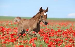 Картинка поле, лето, небо, цветы, красный, природа, конь, голубой, лошадь, маки, малыш, прогулка, коричневый, жеребенок, жеребёнок, …