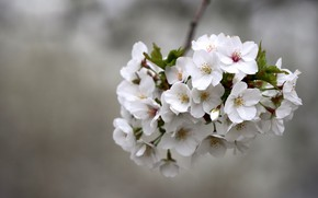 Картинка цветы, вишня, ветка, весна, сакура, белые, серый фон, цветение