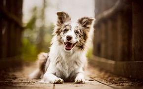 Картинка язык, взгляд, морда, радость, природа, поза, улыбка, фон, настроение, доски, портрет, собака, лапы, щенок, лежит, …