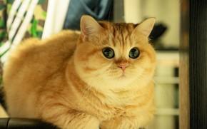 Картинка кошка, кот, взгляд, морда, поза, лежит, золотая шиншилла