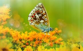 Картинка лето, макро, цветы, зеленый, фон, бабочка, фотошоп, обработка, ветка, насекомое, оранжевые, коричневая, боке, пестрая