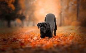 Обои осень, лес, листья, природа, поза, парк, листва, собака, черная, кане-корсо