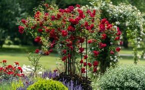Картинка цветы, розы, сад, опора, красные, клумбы, розовый куст, плетистая роза
