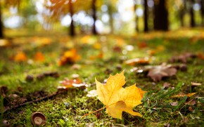 Картинка осень, листья, свет, желтый, парк, поляна, боке, размытый фон, кленовый, осенний листок