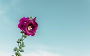 Картинка flower, sky, macro, blur, purple, bloom, buds, stem, 4k ultra hd background, Mallow flower
