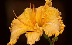 Картинка цветок, фон, лилейник