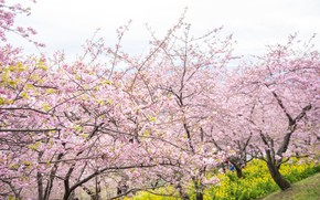 Картинка деревья, цветы, парк, весна, сакура, цветение, pink, blossom, park, tree, sakura, cherry, spring