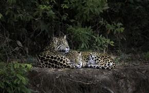 Картинка лес, природа, леопард