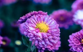 Картинка капли, цветы, фон, сиреневые, астры