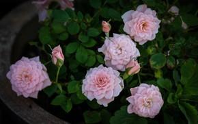 Картинка листья, розы, розовые, бутоны