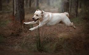 Картинка осень, лес, трава, полет, природа, поза, парк, прыжок, собака, прогулка, лабрадор, ретривер