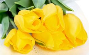 Картинка макро, тюльпаны, белый фон, бутоны, жёлтые