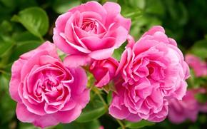Картинка цветок, макро, розовый, розы, Куст