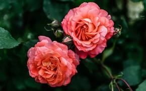 Картинка листья, цветы, темный фон, две, розы, красные, бутоны