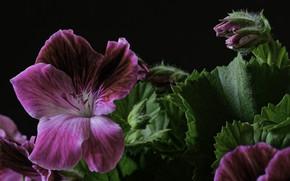 Картинка цветок, макро, герань