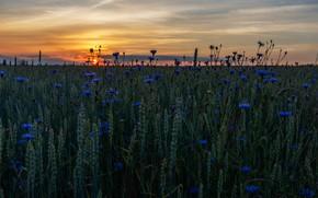 Картинка пшеница, поле, лето, небо, солнце, закат, цветы, вечер, горизонт, колосья, злаки, синие, много, пшеничное поле, …