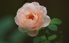 Картинка роза, лепестки, кремовая