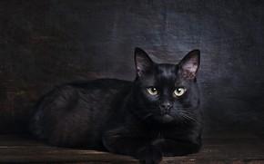 Картинка кошка, кот, взгляд, поза, темный фон, черный, мордочка, лежит, фотостудия