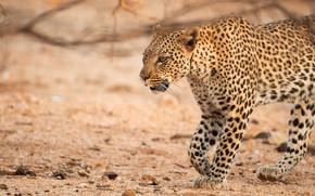 Картинка взгляд, морда, природа, леопард, прогулка