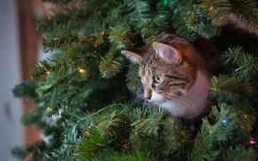 Картинка кошка, кот, морда, ветки, животное, ель, профиль, ёлка, хвоя