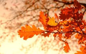 Картинка осень, листья, ветки, боке, дубовые, осенние листья