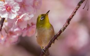 Картинка цветы, вишня, птица, ветка, весна, сакура, белоглазка, белый глаз, Takashi Imaoka