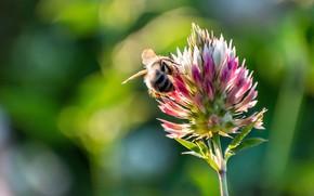 Картинка цветок, лето, макро, свет, пчела, весна, клевер, боке