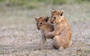 Картинка природа, малыш, пара, львята, парочка, львенок, два, львёнок, два львенка