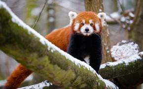 Картинка зима, взгляд, снег, природа, дерево, хвост, красная панда, прогулка, мордашка, малая панда