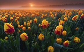 Картинка цветы, желтые, тюльпаны, оранжевые, плантация, двухцветные