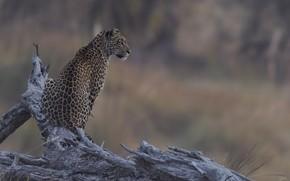 Картинка природа, фон, леопард, DUELL ©