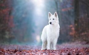 Картинка осень, лес, взгляд, листья, свет, природа, поза, туман, парк, листва, собака, белая, стоит, боке, швейцарская …