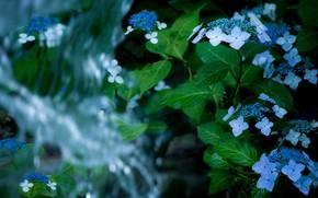 Картинка листья, вода, цветы, фон, темный, водопад, голубые, гортензия