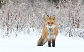 Картинка зима, снег, ветки, природа, лиса