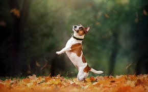 Картинка осень, собака, прогулка, стойка, боке, опавшие листья, Джек-рассел-терьер, Екатерина Кикоть