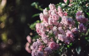 Картинка розовый, розы, куста