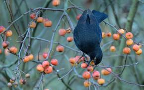 Картинка ягоды, птица, чёрный дрозд