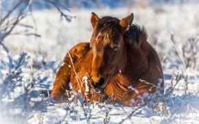 Картинка зима, морда, свет, снег, ветки, природа, конь, отдых, лошадь, портрет, лежит, пони, тени, гнедой